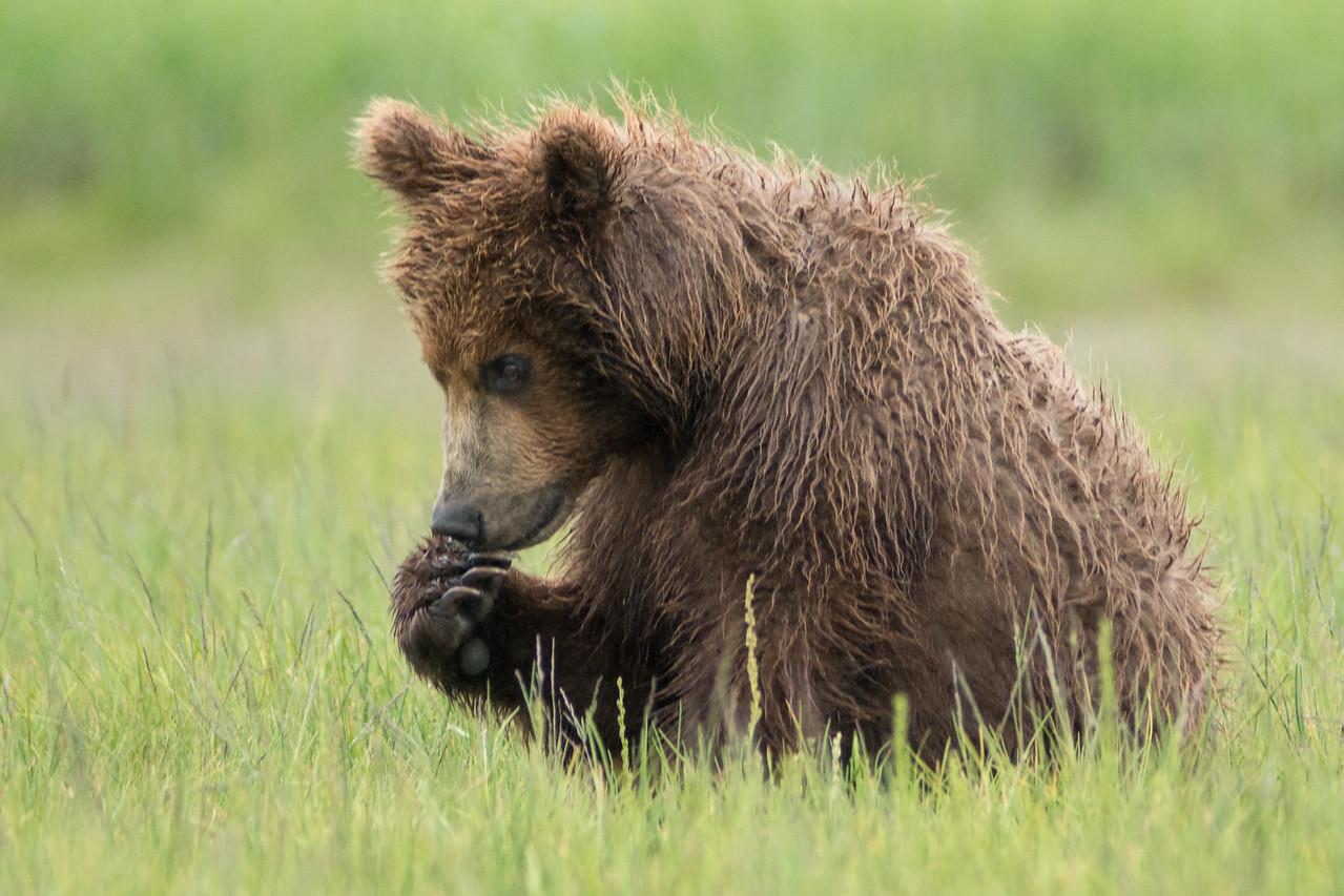 yearling (2nd summer) Brown Bear cub, Katmai National Park, Alaska