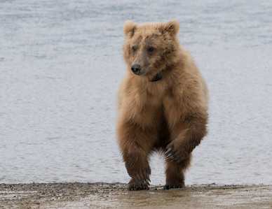 Brown Bear (with broken left wrist), Katmai National Park, Alaska