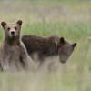 spring (2nd summer) Brown Bear cubs, Katmai National Park, Alaska