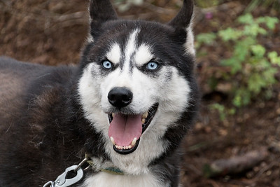 Siberian Husky, Fairbanks, Alaska