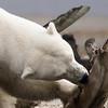 Polar Bear, Kaktovic, Alaska