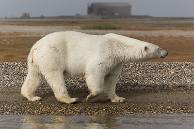 Polar Bear, Kaktovic, Alaska