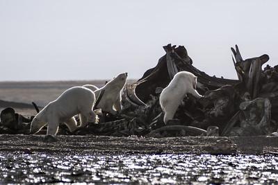 Polar Bears, Bone Pile, Kaktovik, Alaska