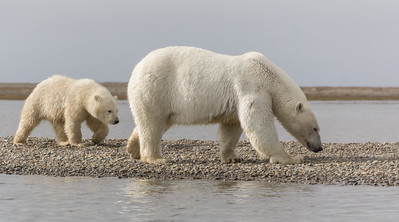 Polar Bear...cub is about 8 months old, Kaktovic, Alaska
