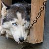 Siberian Husky, Fairbanks, Alaska