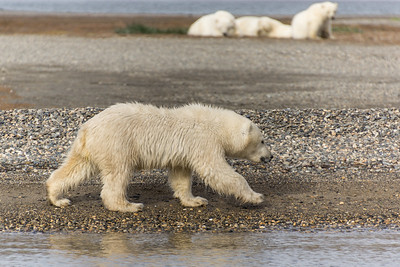 Polar Bear...about 8 months old, Kaktovic, Alaska