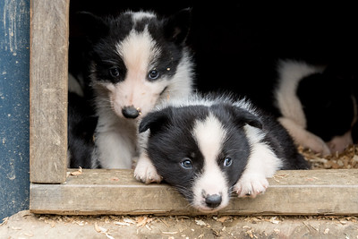 Karelian Bear Dog...4 weeks old, Fairbanks, Alaska