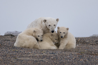 Polar Bear...triplet cubs about 8 months old, Kaktovic, Alaska