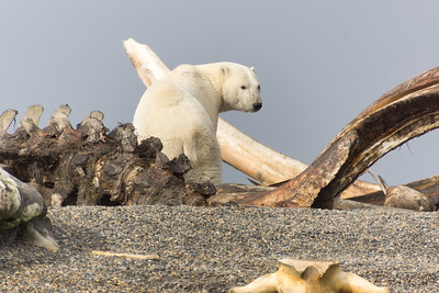 Polar Bear...2nd summer cub, Kaktovic, Alaska