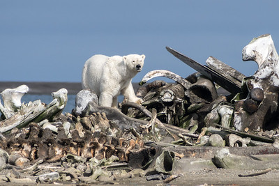 "Polar Bear, ""Bone Pile"", Kaktovic, Alaska"