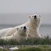 Polar Bear...cubs about 8 months old, Kaktovic, Alaska