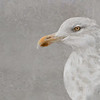 Portrait of a Gull