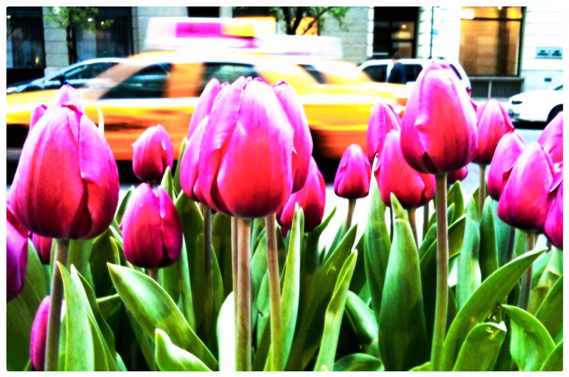 Spring Tulips on Hudson Street<br /> Soho