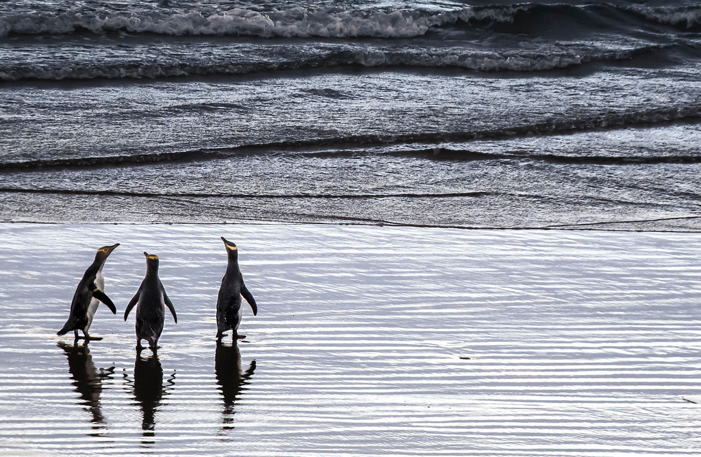 On the wednesday afternoon of May 4, 2016, the Yellow-Eyed Penguins were out on the beach socializing, stretching their necks, and preening their feathers at Penguin Place in the Otago Peninsula, New Zealand. (© Erica Jacques 2016)