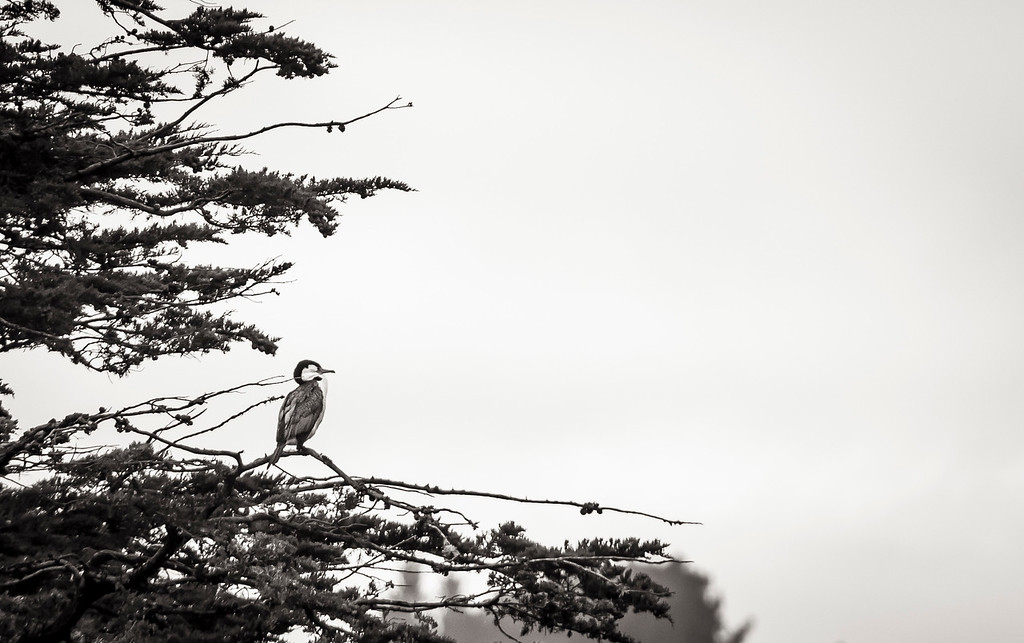 On the afternoon of sunday April 28, 2016, a Karuhiruhi Pied shag is perched on a tree in Zealandia the Karori Sanctuary Experience in New Zealand. (© Erica Jacques 2016)