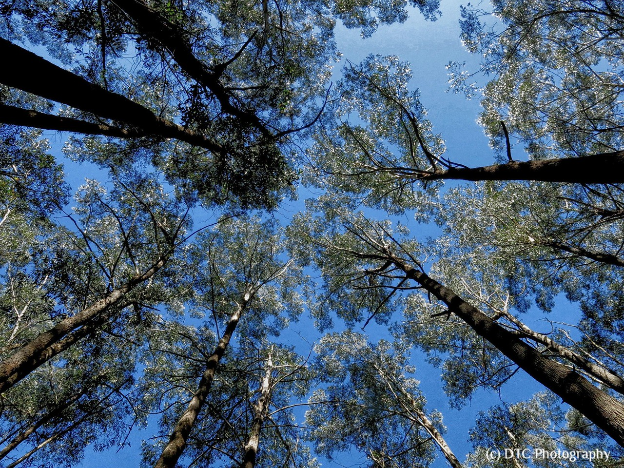 Forest canopy, the Vines