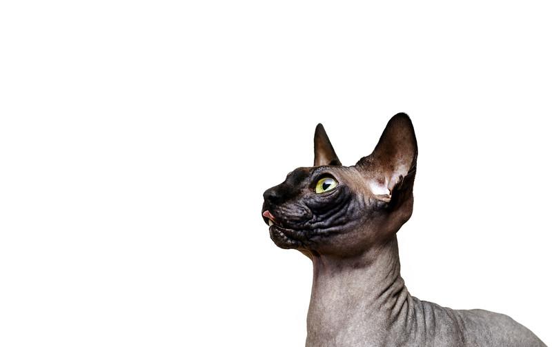 Beautiful sphynx cat portrait on white background