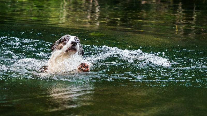 Beautiful corgi dog is swimming in a mountain river. Sunny weather.