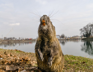 Coypu (Myocastor coypus), also known as river rat or nutria, is large, herbivorous, semiaquatic rodent