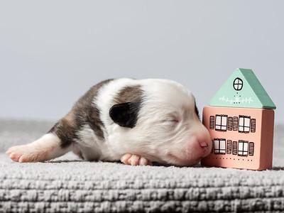 The tiny newborn corgi puppy with a small toys.