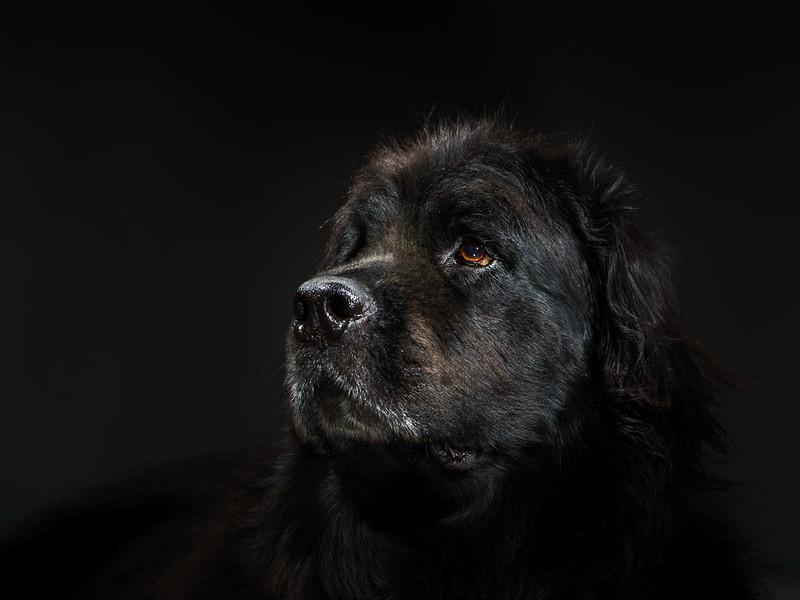 Portrait of big black water-dog, studio shooting
