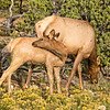 Mother and Young Elk 2