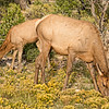 Mother and Young Elk 3