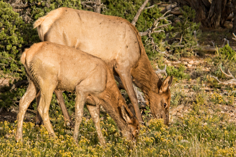 Mother and Young Elk 1