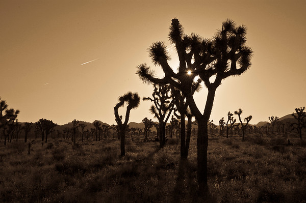 Joshua Trees at sunrise. Joshua Tree NP, CA