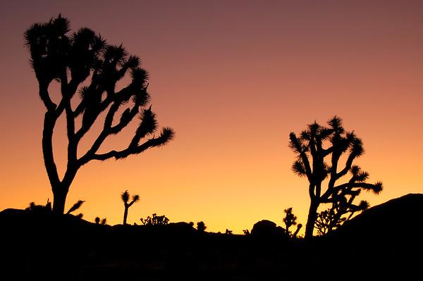 Joshua Trees at dawn. Joshua Tree NP, CA