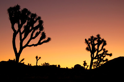 Joshua Trees at dawn. Joshua Tree NP, CA
