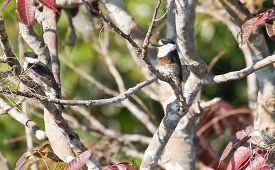 Brown-banded Puffbird_Dusan Brinkhuizen_6879