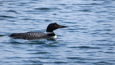 Common Loon_Dusan Brinkhuizen_3697
