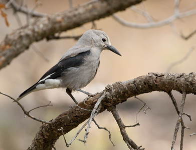 CLARK'S NUTCRACKER - Nucifraga columbiana - Grand Canyon National Park, South Rim, Oct 2017, Arizona, USA