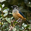 Spangle-cheeked Tanager_Dusan Brinkhuizen_6196