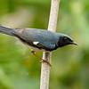 BLACK-THROATED BLUE WARBLER - Setophaga caerulescens -<br /> Zapata Peninsula, February 2016, Matanzas, Cuba