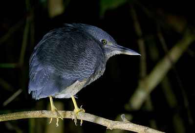 ZIGZAG HERON - Zebrilus undulatus - Napo Wildlife Center, July 2018, Napo, Ecuador