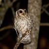 BARE-LEGGED SCREECH-OWL - Margarobyas lawrencii - <br /> Sopllilar, Zapata Peninsula, February 2016, Matanzas, Cuba