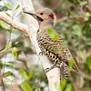 Northern Flicker_Dusan Brinkhuizen_9765