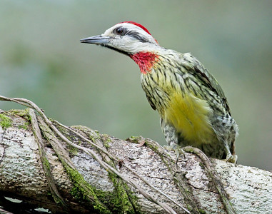 Cuban Green Woodpecker_Dusan Brinkhuizen_5864