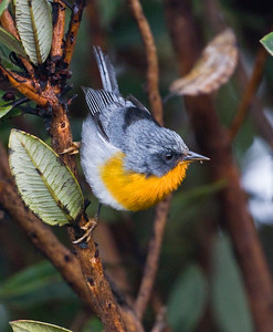 Flame-throated Warbler_Dusan Brinkhuizen_7937