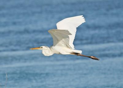 Great Blue Heron_Dusan Brinkhuizen_6262