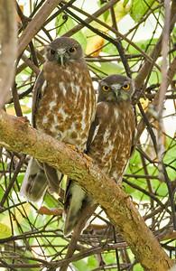 Brown Hawk-Owl _Dusan Brinkhuizen_1770