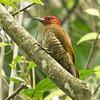 Rufous-winged Woodpecker_Dusan Brinkhuizen_4494