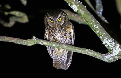 Koepcke's Screech-owl_Dusan Brinkhuizen_8728