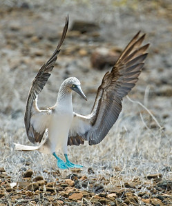 Blue-footed Booby_Dusan Brinkhuizen_0760