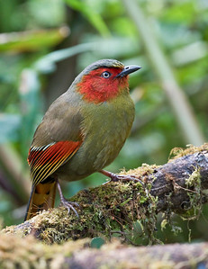 SCARLET-FACED LIOCICHLA - Liocichla ripponi - Doi Lang, March 2018, Chiang Mai, Thailand