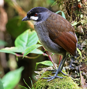 JOCOTOCO ANTPITTA - Grallaria ridgelyi - Tapichalaca, June 2018, Zamora-Chinchipe, Ecuador