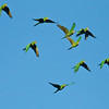 Pacific Parakeet_Dusan Brinkhuizen_5715