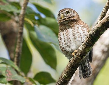 CUBAN PYGMY-OWL - Glaucidium siju - Santo Tomas, January 2019, Zapata Peninsula, Matanzas, Cuba